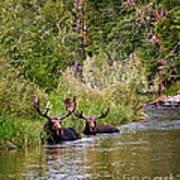 Bull Moose Summertime Spa Art Print