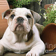 Bulldog Puppy With Flowerpots Art Print