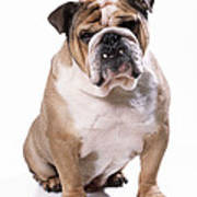 Bulldog Sitting Art Print