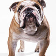 Bulldog Standing, Facing Camera Art Print
