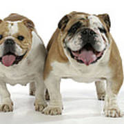 Bulldogs, Male And Female Art Print