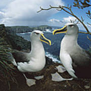 Bullers Albatrosses On Storm-lashed Art Print