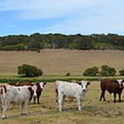 Bulls And Cow Art Print