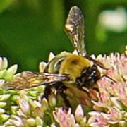 Bumble Bee 104 Art Print