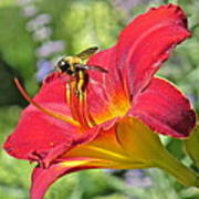 Bumble Bee In Day Lily 109 Art Print