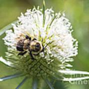 Bumble Bee On Button Bush Flower Art Print