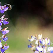 Bumble Bee On Lupine Art Print