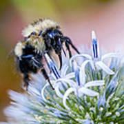 Bumblebee On Thistle Blossom Art Print