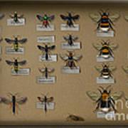Bumblebees - Wild Bees - Wesps - Yellow Jackets - Ichneumon Flies - Apiformes Vespulas Hymenopteras  Art Print