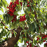 Bumper Crop - Cherries Art Print