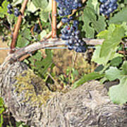 Bunches Of Red Wine Grapes Growing On Vine Art Print