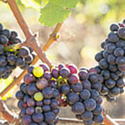 Bunches Of Red Wine Grapes Hanging On Grapevine Art Print
