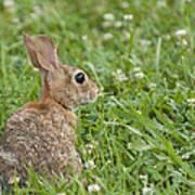 Bunny Rabbit In The Clover Art Print
