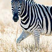 Burchells Zebra Equus Quagga Art Print