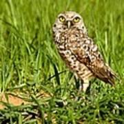 Burrowing Owl At It's Burrow Art Print