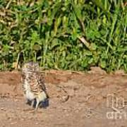 Burrowing Owl IIi Art Print