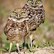 Burrowing Owls Art Print