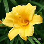 Bursting Lily  Art Print