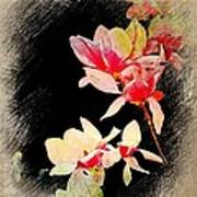 Bursting Magnolias Art Print