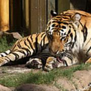Busch Tiger Art Print