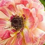 Buttercup Blossom Art Print