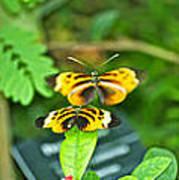 Butterflies Gentle Courtship  3 Panel Composite Art Print