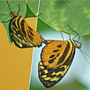 Butterflies Mating Out Of Bounds Art Print