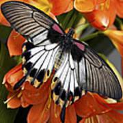 Butterfly 006 Art Print