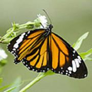 Butterfly 009 Art Print