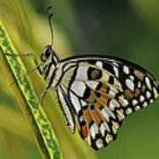 Butterfly 010 Art Print