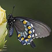 Butterfly 016 Art Print