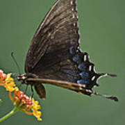 Butterfly 017 Art Print