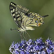 Butterfly 020 Art Print