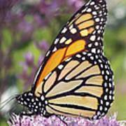 Butterfly 024 Art Print