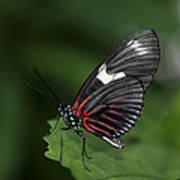 Butterfly 027 Art Print