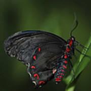 Butterfly 028 Art Print