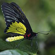 Butterfly 029 Art Print