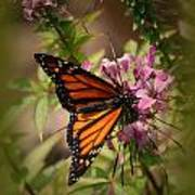 Butterfly 5 Art Print