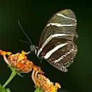 Butterfly 50 Art Print