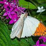 Butterfly 63 Art Print