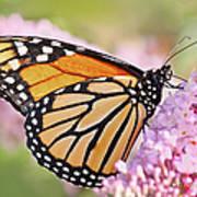 Butterfly Beauty-monarch II  Art Print