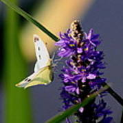 Butterfly - Cabbage White Art Print