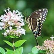Butterfly Dining  Art Print