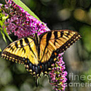 Butterfly - Eastern Tiger Swallowtail Art Print