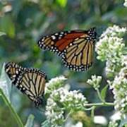 Butterfly Garden - Monarchs 01 Art Print