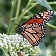 Butterfly Garden - Monarchs 07 Art Print