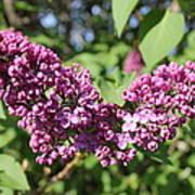 Butterfly Lilac Art Print