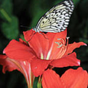 Butterfly On A Lily Art Print