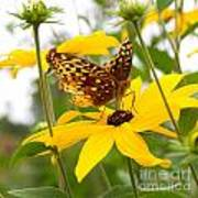 Butterfly On Blackeyed Susan Art Print