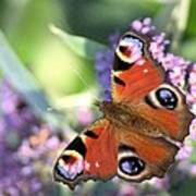 Butterfly On Buddleia Art Print